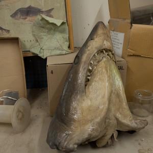 """ראש של כריש, ינואר 2011, 40X25 ס""""מ"""