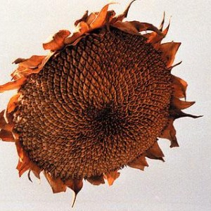 From the series Sunflowers