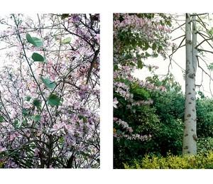 פרחים למיקול / גזע סגול - סגורסקי גוסטבו, 2006 , הדפסת למבדה, 124x124 סמ כל אחד