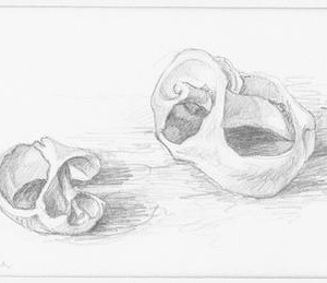 Audrey Bergner, Two Shells, 1979, pecil drawing 16x25 cm